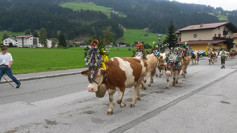 almabtrieb in westendorf in den kitzbüheler alpen