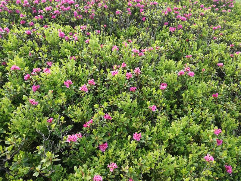Almrosen blühen in Westendorf
